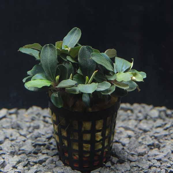 OrinocoPlants Bucephalandra Theia