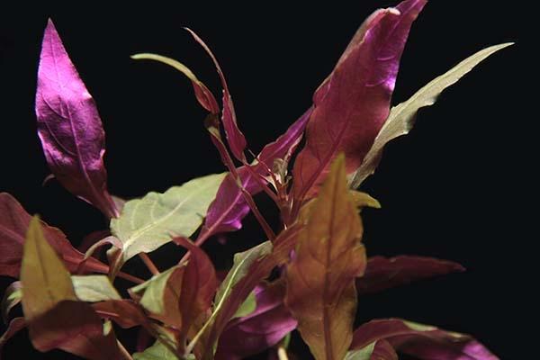 OrinocoPlants Alternanthera Reinickii 3 Stück
