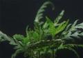 OrinocoPlants Hygrophila Pinnatifida 2 Stück