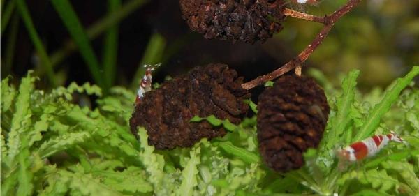 OrinocoPlants Pogostemon Helferi Indischer Wasserstern 3 Stück