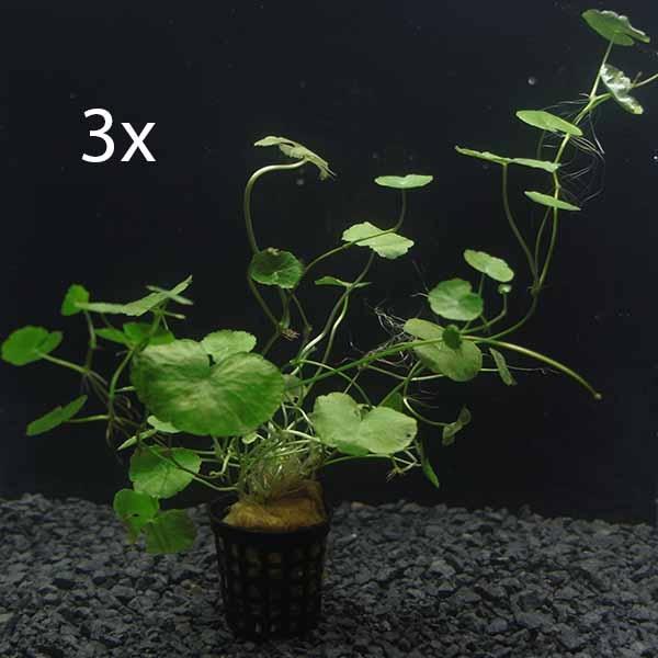 OrinocoPlants Hydrocotyle Leucocephala 3 Stück
