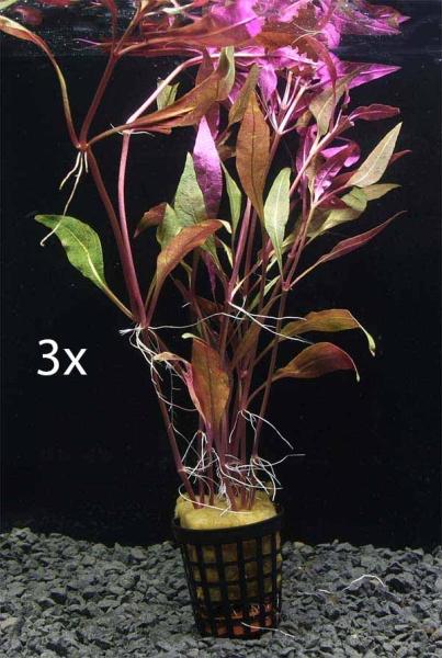 OrinocoPlants Alternanthera pink folia 3 pieces
