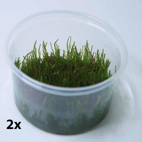 OrinocoPlants Wheeping Moss Invitro XXL 2 Töpfe