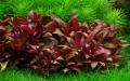 Alternanthera reineckii sp. Mini 1-2-Grow!