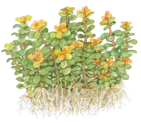 Rotala indica sp. Bonsai1-2-Grow!