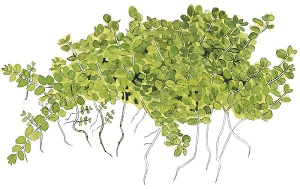 Hemianthus callitrichoides Cuba 1-2-Grow!