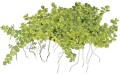 Hemianthus callitrichoides Cuba HCC 1-2-Grow!