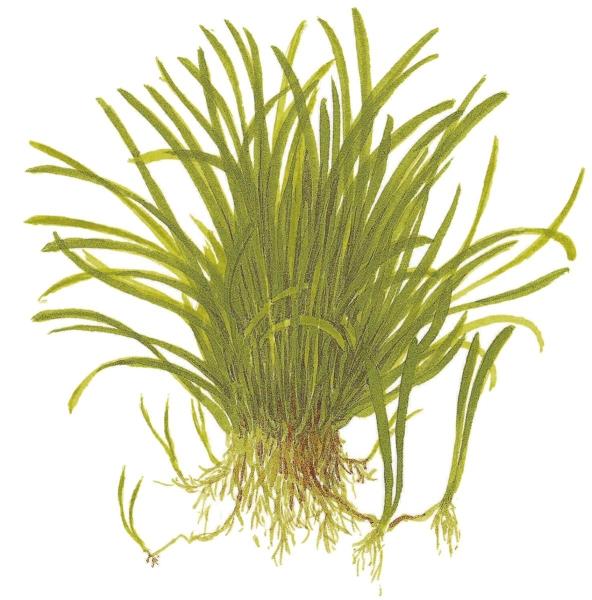 Lilaeopsis brasiliensis 1-2-Grow!