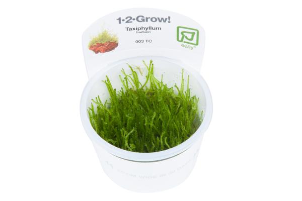 Taxiphyllum barbieri1-2-Grow!