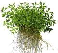 Glossostigma elatinoides1-2-Grow!