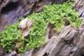 Micranthemum Monte-Carlo 1-2-Grow!