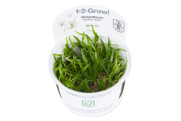 Helanthium tenellum Green 1-2-Grow!