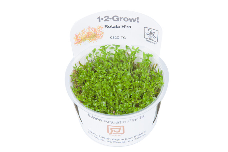 Rotala sp. Vietnam H´ra 1-2-Grow!