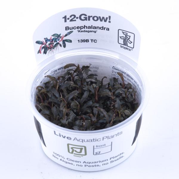 Bucephalandra Kadagang 1-2 Grow
