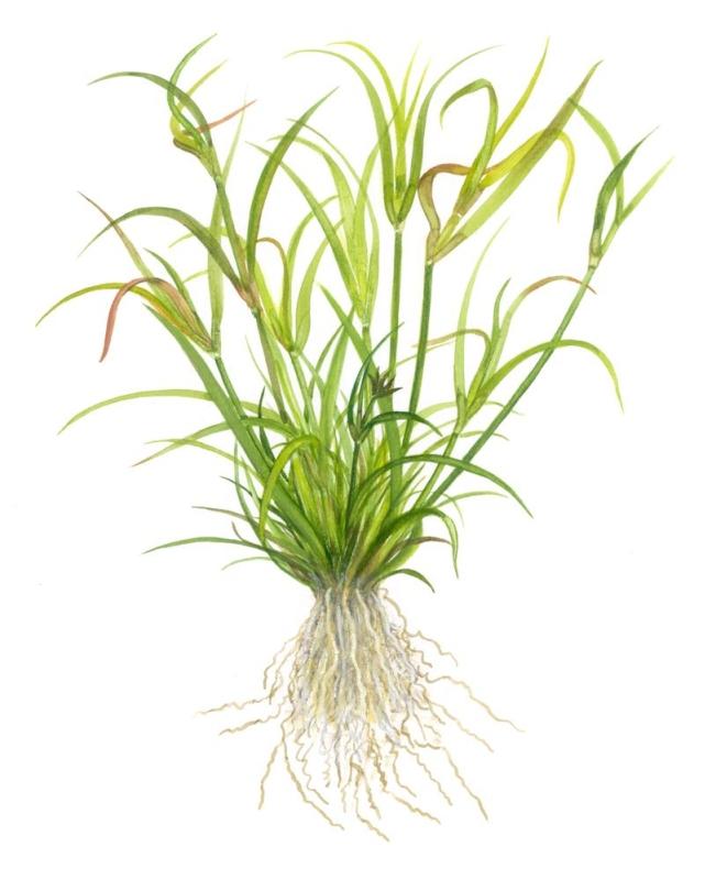 Juncus repens 1-2-Grow! Kriechende Binse